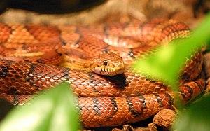 Corn snake - Image: Kornnatter