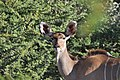 Kudu close up.JPG