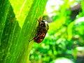 Kumbang Jagung.jpg