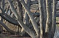 Kurpark Oberlaa 68 - Pterocarya fraxinifolia.jpg