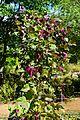 Lablab purpureus in Jardin des Plantes de Toulouse 04.jpg