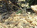 Lacerta viridis meridionalis.jpg