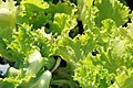 Lactuca sativa Great Lakes 1zz.jpg