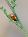 Ladybeetle with 7 points (8744486046).jpg