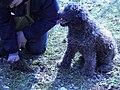 Lagotto Romagnolo à la recherche de truffes (1).jpg