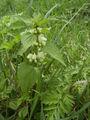 Lamium album plant.jpg