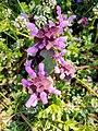Lamium purpureum 123469954.jpg