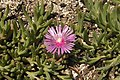 Lampranthus spectabilis2.jpg