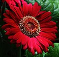 Large-red-daisy - Virginia - ForestWander.jpg