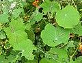 Large White Caterpillars on Nasturtium leaves.JPG