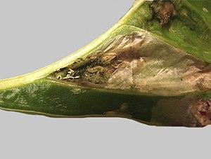 Pegomya hyoscyami - Image: Larva inside peeled back blister