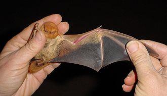 Patagium - Wing of a desert red bat (Lasiurusblossevillii)