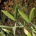 Lathyrus latifolius p1517.jpg