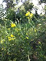 Lathyrus pratensis subsp. pratensis sl7.jpg