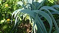 Lauchpflanze (10).jpg