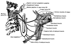 Hypoglossal nerve - Wikipedia