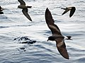 Leach's petrel From The Crossley ID Guide Eastern Birds (1).jpg