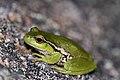 Leaf-Green Tree Frog (Litoria nudidigita) (8397026115).jpg