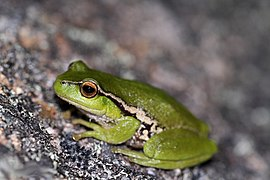 Leaf-Green Tree Frog (Litoria nudidigita) (8397026115).jpg