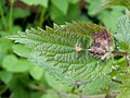 Leaf galls on nettle - geograph.org.uk - 973028.jpg