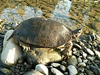 Leaf turtle Cyclemys species.jpg