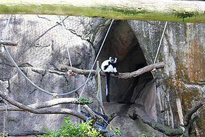 Audubon Zoo - Lemur in the Audubon Zoo in New Orleans