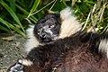 Lemur (26618574397).jpg
