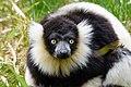 Lemur (27618595038).jpg