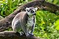 Lemur (36831072853).jpg