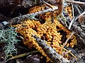 Leocarpus fragilis 30682030.jpg