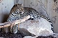 Leopardo de Terra Natura - panoramio.jpg