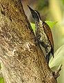 Lesser Flameback woodpecker 7 (Dinopium benghalense)നാട്ടു മരംകൊത്തി .jpg
