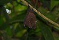 Lesser Woolly Horseshoe Bat (Rhinolophus sedulus) (8688716960).jpg
