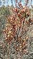 Leucadendron rubrum m Nicola van Berkel 5.jpg