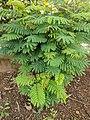 Leucaena leucocephala 17.jpg