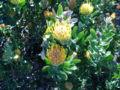 Leucospermum cuniforme bush detail.JPG