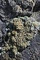 Lichen (20567231275).jpg