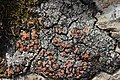 Lichen (30371702898).jpg