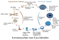 Life cycle of Coccidioides nl txt.png