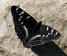 Limenitis populi L..jpg