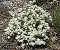 Linanthus nuttallii var pubescens 7.jpg