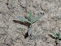 Linaria purpurea 2018-05-06 1547.jpg