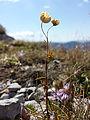 Linum alpinum sl1.jpg