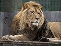Lion (44653706660).jpg
