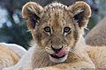 Lion Cub Africa.jpg