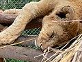 Lion Sleeping at Antelope Park ! (29719756015).jpg