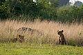 Lion cubs - Queen Elizabeth National Park, Uganda (3).jpg
