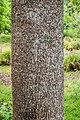 Liriodendron chinense in Hackfalls Arboretum (1).jpg