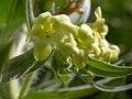 Lithospermum ruderale (3625705716).jpg