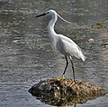 Little Egret (Egretta garzetta)- Breeding plumage- in Hyderabad, AP W IMG 7665.jpg